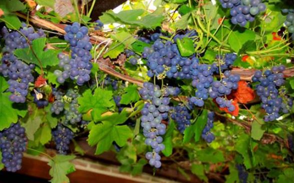 Opening our heart to  Abundance like grapes