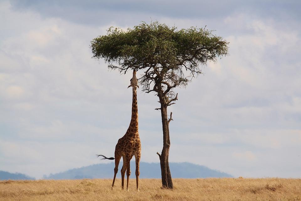 giraffe-2191662_960_720