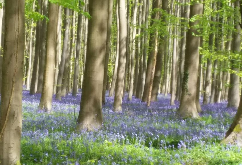 Bluebell Carpet Woods - Hallerbos